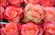 rosa-ecuador